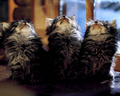 Kittens Looking Up - cats wallpaper