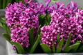 Pink Hyacinths - pink-color photo