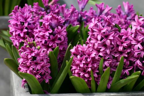 粉, 粉色 Hyacinths