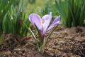 Purple Crocus - purple photo