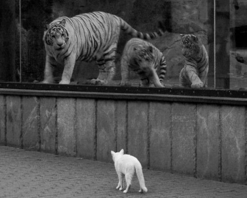 Tigers and Cat