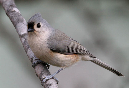 Tufted Titmouse - animals Photo