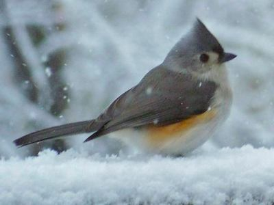 Tufted Titmouse - Animals Photo (29861504) - Fanpop fanclubs
