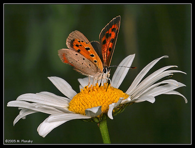 White bunga aster, daisy