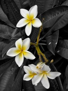 White Plumeria [Frangipani]
