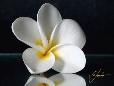 fiori wallpaper entitled White Plumeria [Frangipani]