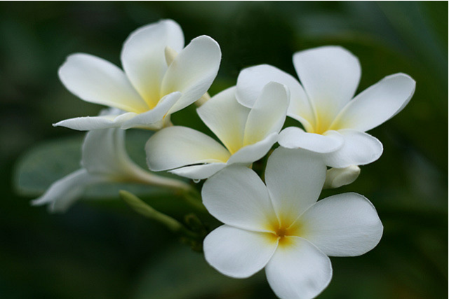 Flowers Images White Plumeria Frangipani Wallpaper And Background