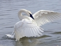 White Swan - animals photo
