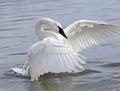 White cygne