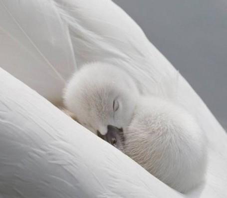 Animals achtergrond called White zwaan-, zwaan