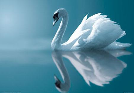 White cigno