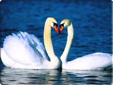 White angsa, swan