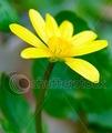 Yellow Anemone