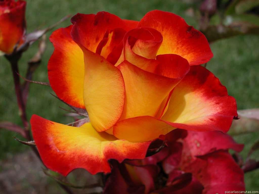 Nuestros saludos a Carol en su cumpleaños Roses-roses-29851084-1024-768