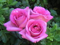 roses - roses photo