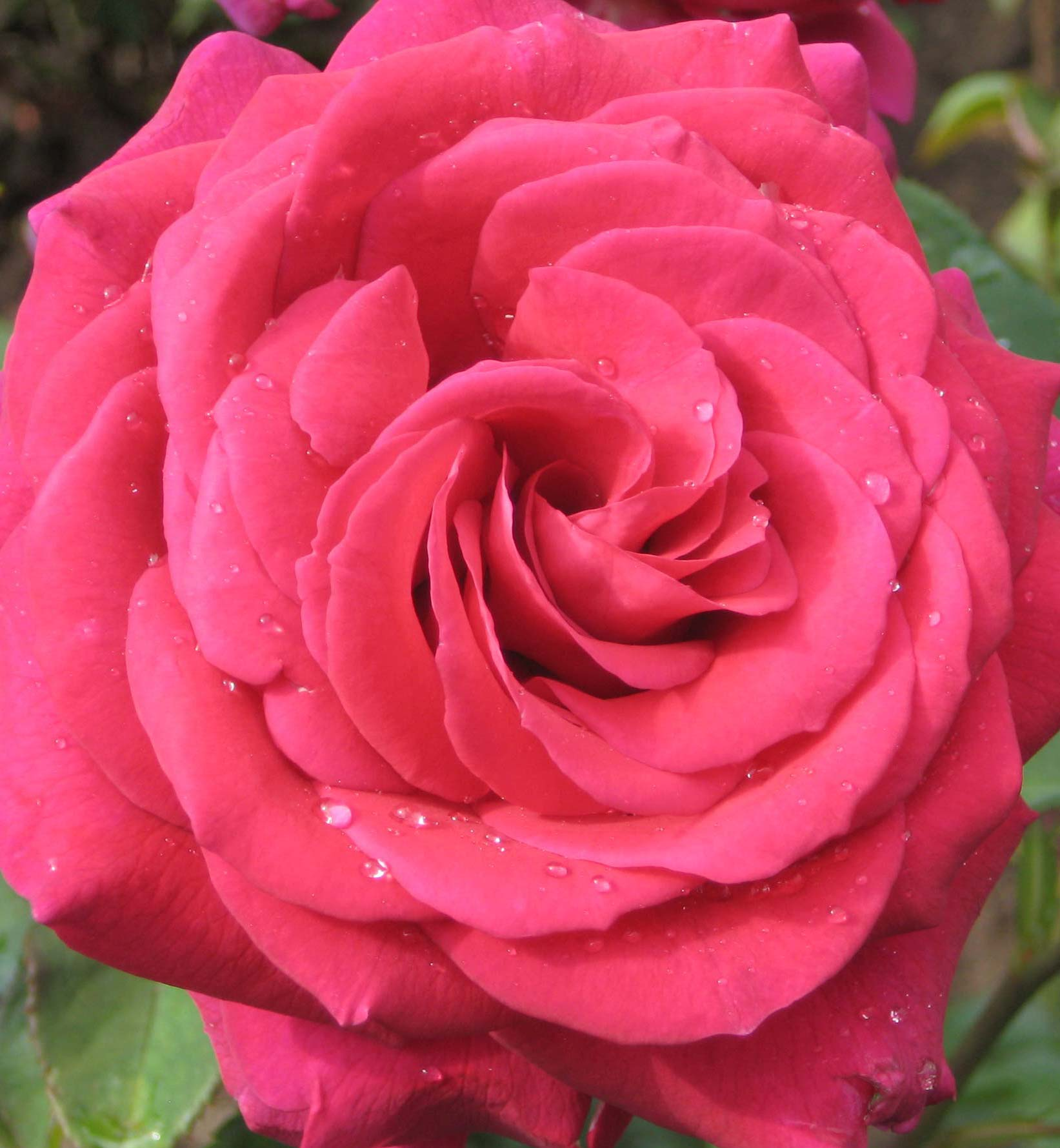 roses - photo #9