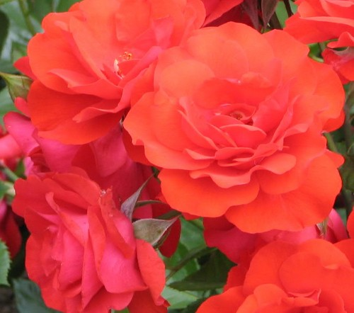 mga rosas