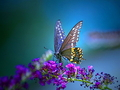 Butterfly Wallpaper - yorkshire_rose wallpaper