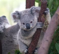 Extremely cute koala bear!!