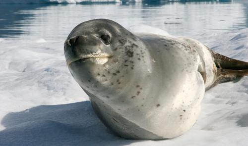 Leopard foca, guarnizione