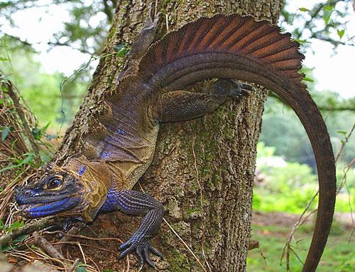 Sailfin Dragon lucertola