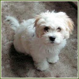 Cavachon Puppy - puppies Photo