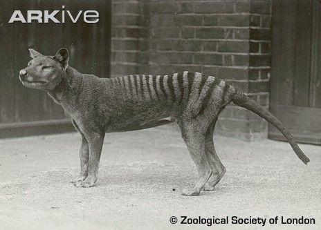 Tasmanian Tiger lupo