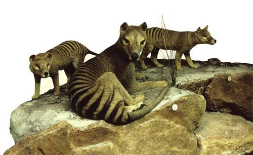 Tasmanian Tiger भेड़िया