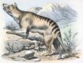 Tasmanian Tiger Wolf