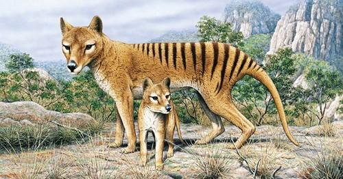 Tasmanian Tiger mbwa mwitu