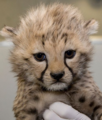 cheetah cub - wild-cat-cubs photo