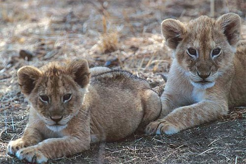 lion cubs - wild-cat-cubs Photo