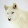 white भेड़िया