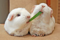 Guinea Pigs eating together - guinea-pigs photo