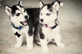 Adorable Husky Puppies <3