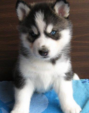 Adorable Husky पिल्लें <3