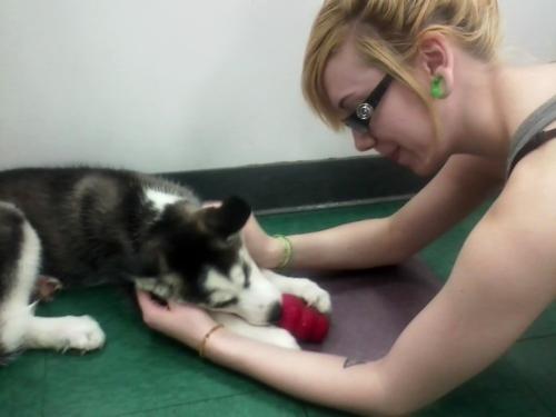 Adorable Husky কুকুরছানা <3