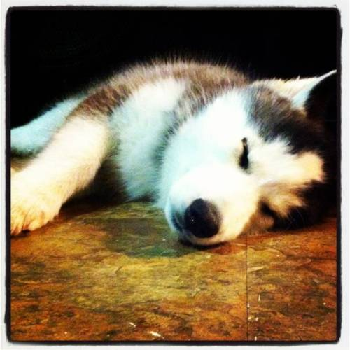 Adorable Husky 小狗 <3