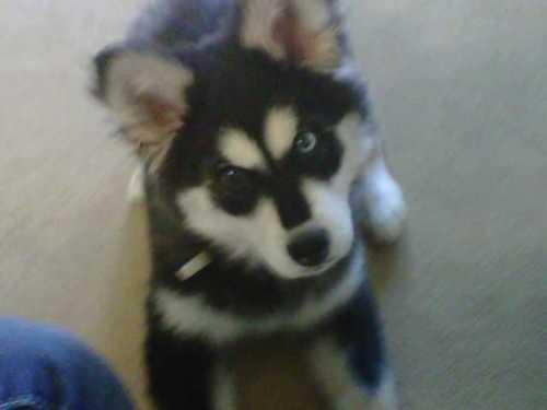 Adorable Husky anak anjing