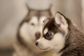Adorable Husky cachorrinhos