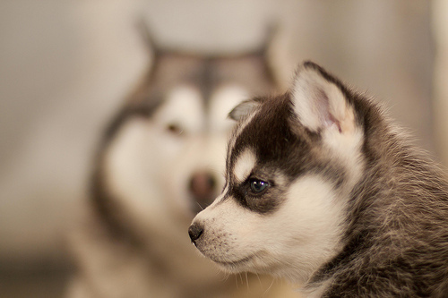 Adorable Husky 子犬