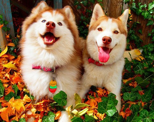 Adorable Husky Puppies  - dogs Photo