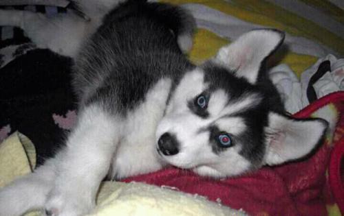 Adorable Husky Puppies