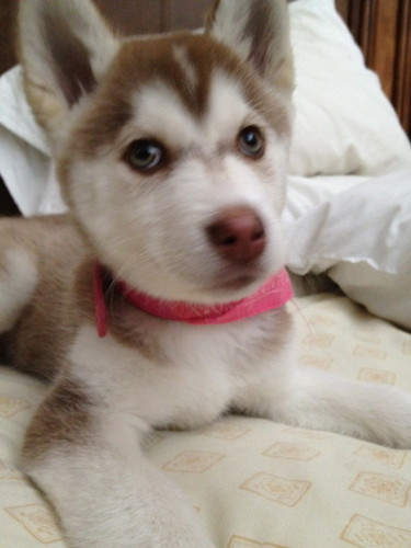 Cute Husky Puppies <3