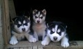Cute Husky cachorrinhos <3