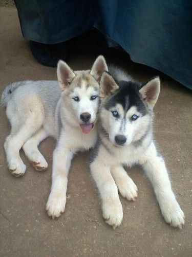 Cute Husky cachorritos <3