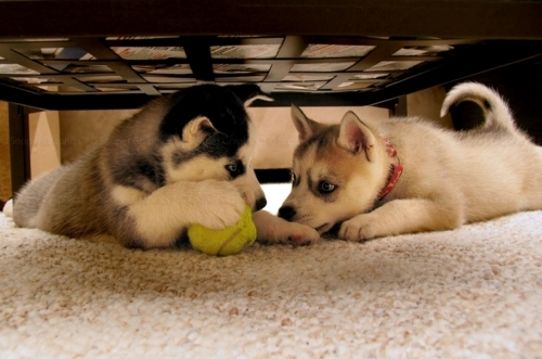 Cute Husky Puppies <3