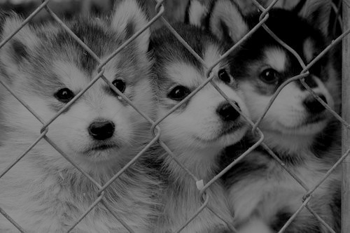 Cute Husky chiots <3