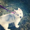 Husky Welpen <3