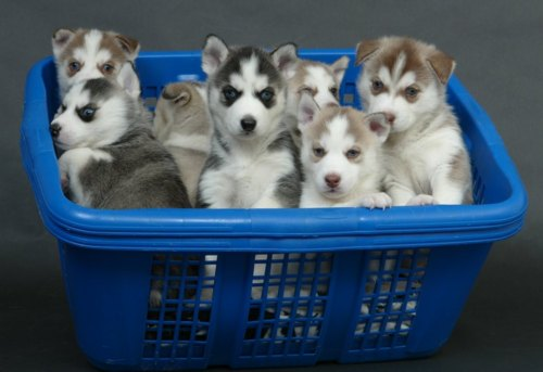 Dogs images Husky Puppies <3 wallpaper and background photos